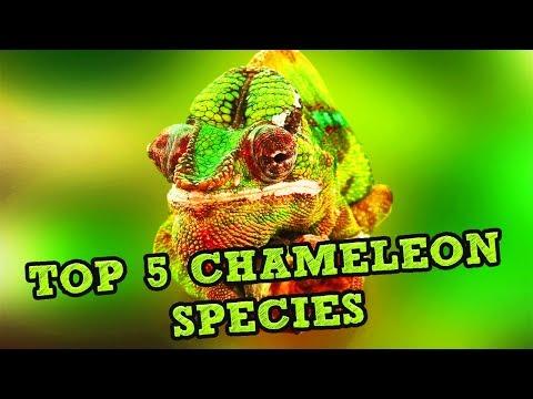 TOP 5 CHAMELEON SPECIES 🐊