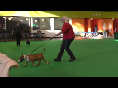 Seaquest Somme by AMiniRumpus Crufts 2017 Miniature Bull Terrier