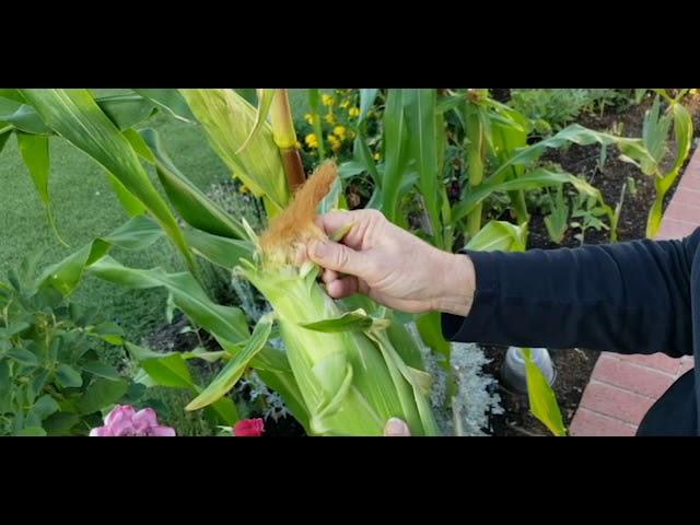 Harvesting My Corn!