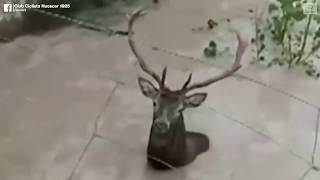 Spanish cyclists save trapped deer   ABC News
