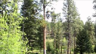 Climbing and pruning a Ponderosa Pine