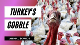 The Animal Sounds: Turkey Gobble - Sound Effect - Animation
