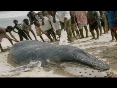 West Africa's Marine Bushmeat