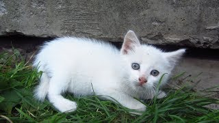 New white kitten in the family of tortoiseshell cat