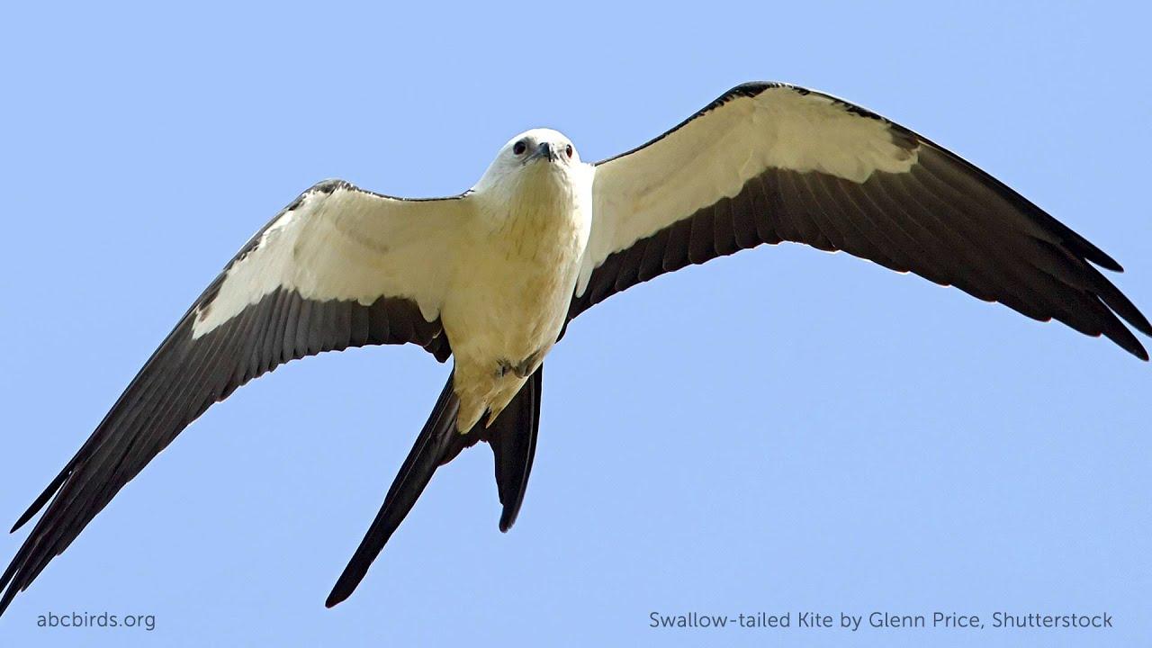Swallow Tail Bird 113