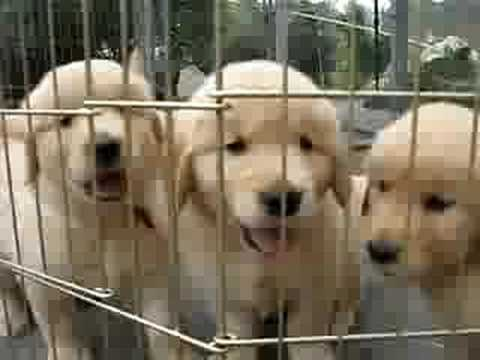 Golden Retriever Puppies - YouTube