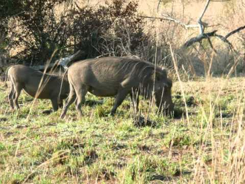 Wild animals native to south africa