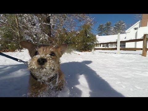 Norfolk Terrier Jaxson's First Snow