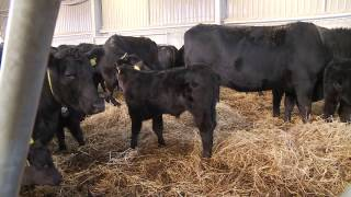 Scotland's Farming Year, Beef Farmer Interview
