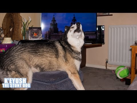 Husky Watches TV And Sings To Adverts