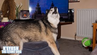 husky-watches-tv-and-sings-to-adverts
