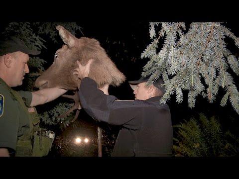 Elk Decoy Sting Operation