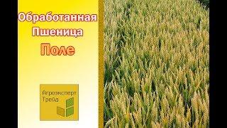 Пшеница, обработанная гуматом калия и микроудобрениями 2