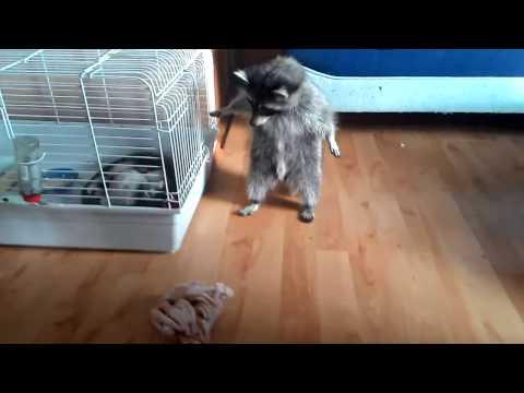 Raccoon and chicken feet