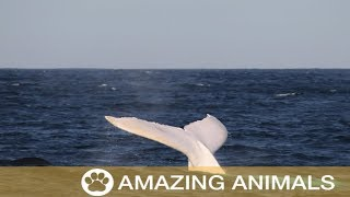Rare White Whale Migaloo Spotted