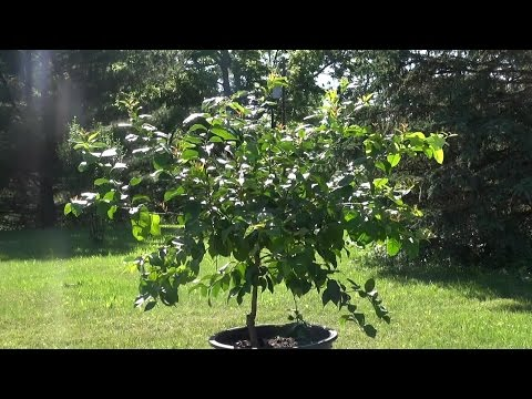 Growing Citrus In The Ground In Northern Climates