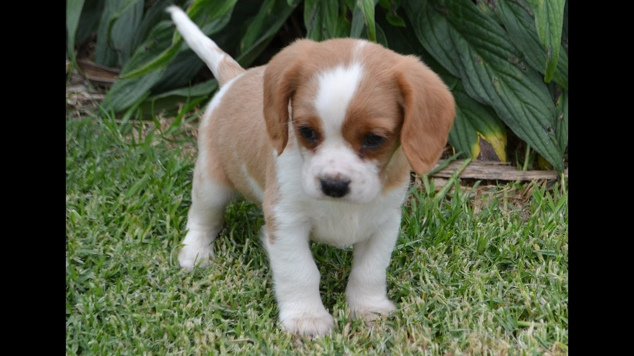 Image Result For Beagle Cross Cavalier For Sale