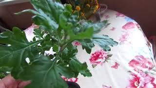Выращивайте  Хризантемы из семян.