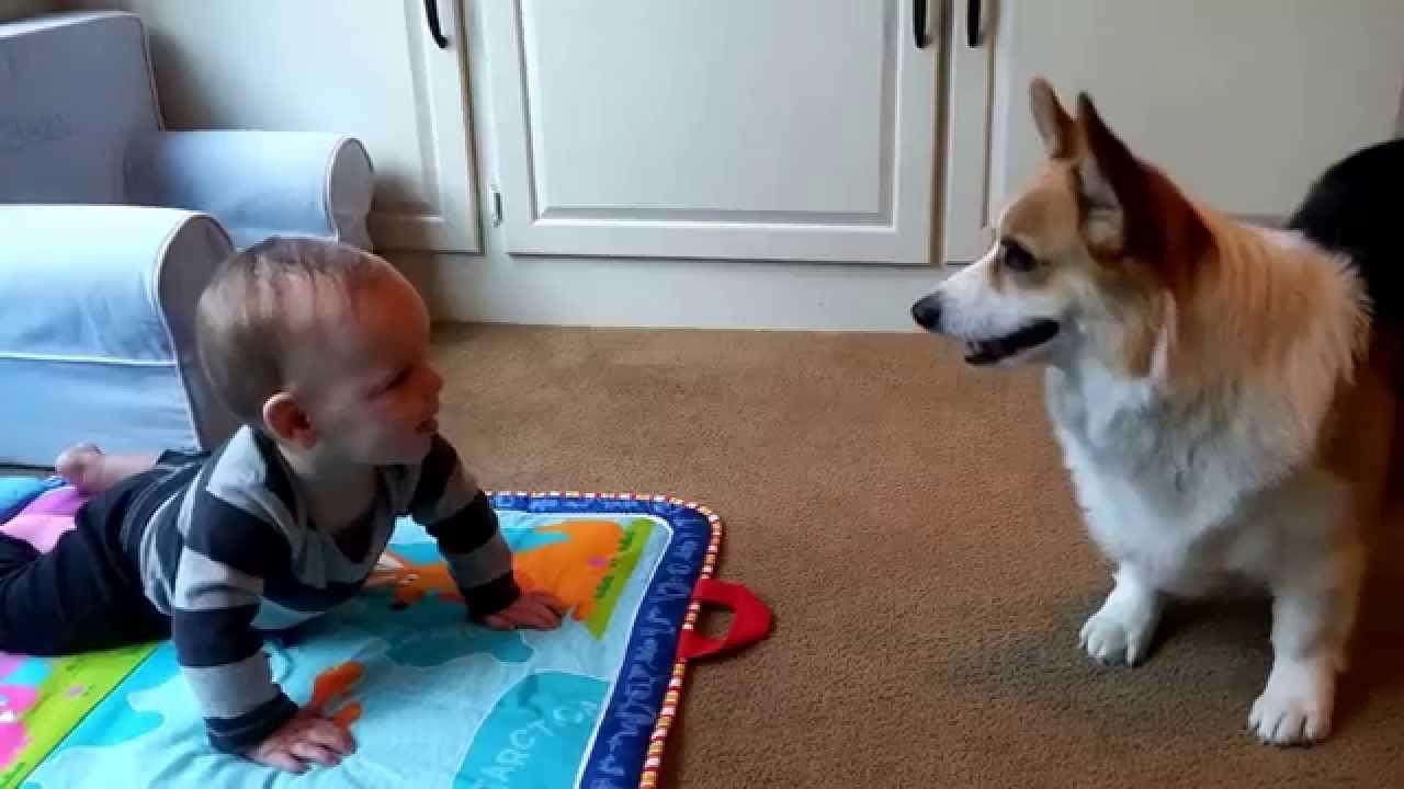 baby beau and corgi