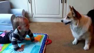 【名コンビ】犬流の「いないいないばあ」で赤ちゃんをあやすコーギー