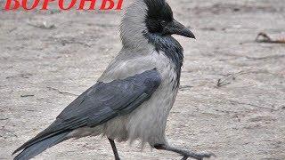 Звуки природы для детей. Птицы. Вороны
