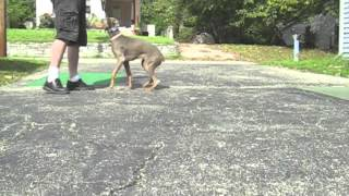 Ohio Doberman  Dog Training Bootcamp - Obedience On Leash - Best Professional