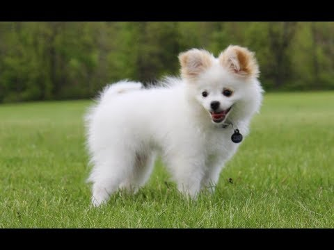 Cute Pomchi Puppies Chihuahua