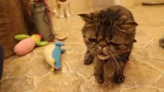 やればできる子なのだ!【Cat Cafe てまりのおしろ】 thumbnail