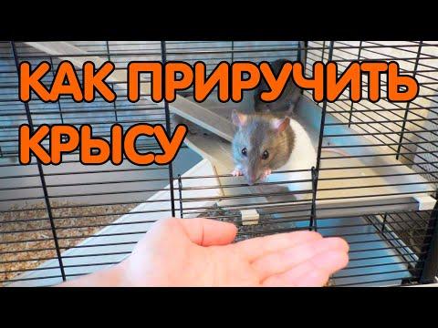 Вопрос: Как приручить домашнюю крысу?