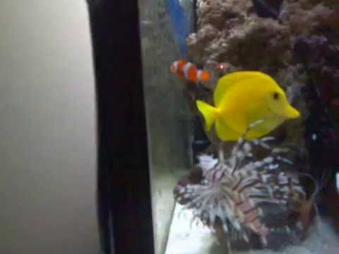 Nemo Gets Eaten By Lion Fish.