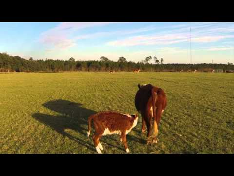 Herding Cattle with a Drone