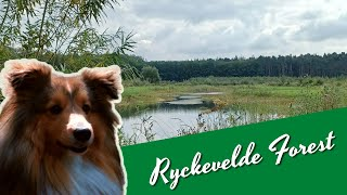 Walk with my Shetland Sheepdog in Ryckevelde Forest