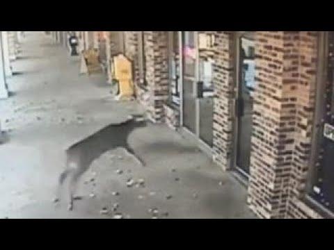 deer-crashes-through-barbershop-s-glass-door