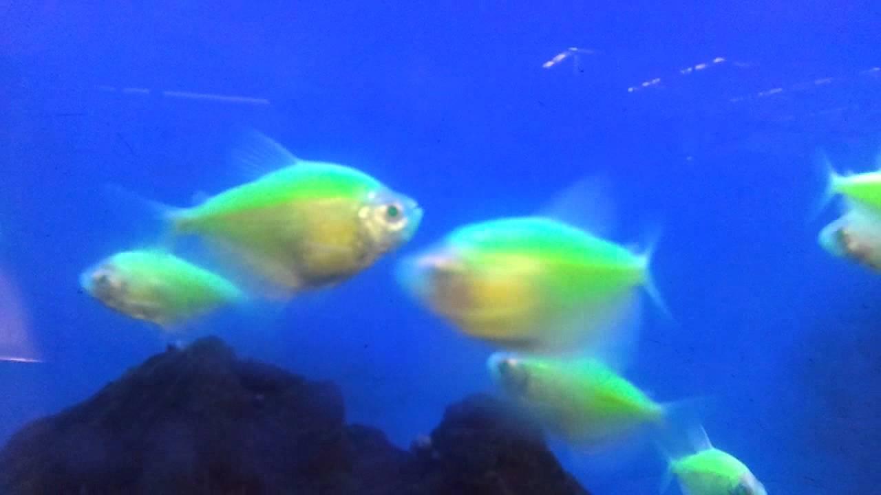 Glow in the dark fish. Glofish Tetra - YouTube