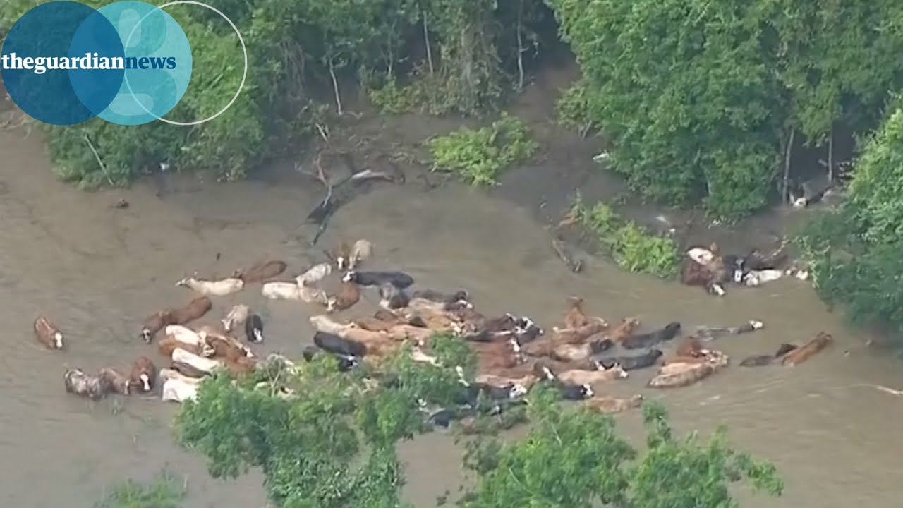 Cattle Rescued From Flood Waters In Texas YouTube