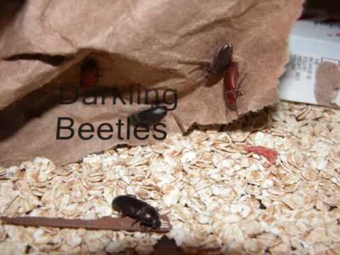 Whirligig Beetles  MDC Discover Nature