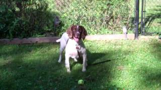 English Springer Spaniel: Maessr Presents Seamus 3