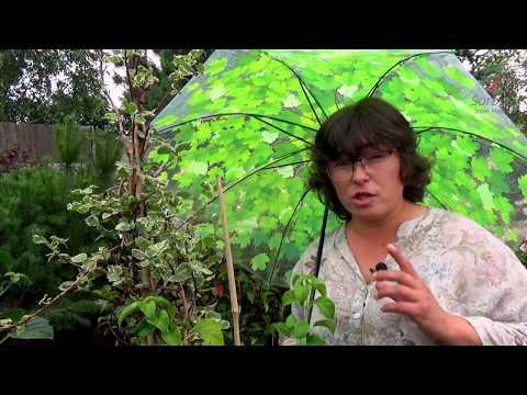 Удивительная лиана - гортензия черешковая.