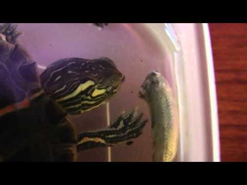 painted turtle eating a fish