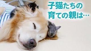 離乳前の子猫を育てるワンコたち…♡ 「ミルクボランティア」の一員として活躍していました