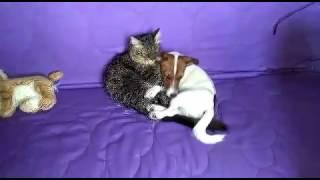 Кот и щенок(ДРТ). Собачья жизнь. Джек Рассел терьер