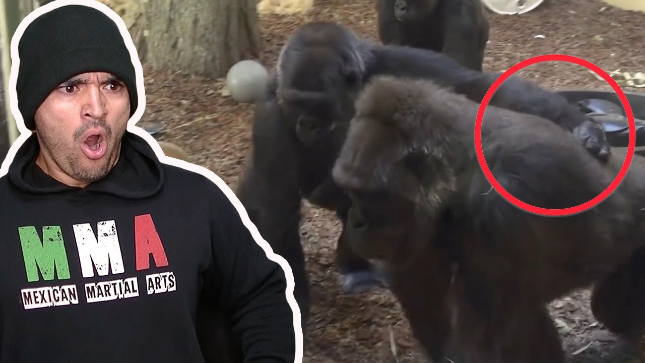Gorilla Fights Are.. Complicated