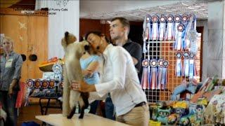 Прекрасный шоу характер у тайского кота Оскара! Тайские кошки - это чудо! Funny Cats