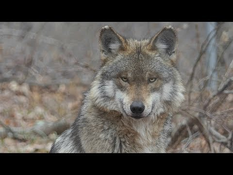 Beautiful Mexican Gray Wolf Magdalena