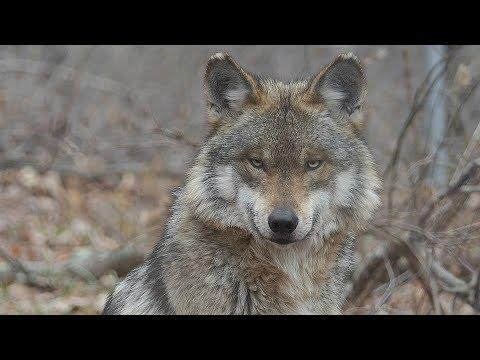 Beautiful Mexican Gray Wolf Magdalena