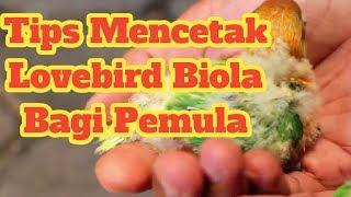 Video Tips mencetak lovebird BIOLA bagi PEMULA.. Cekidot.... download MP3, 3GP, MP4, WEBM, AVI, FLV Juli 2018