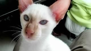 Siamese kitten cat cinnamon point (Alaska, 4 months old).