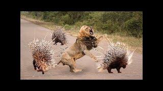 Wild Animals Fight Powerful Lion vs Crocodile, Elephant vs Buffalo Deer Python Leopard Hippo