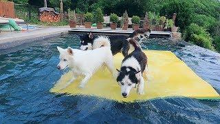 husky-pool-day