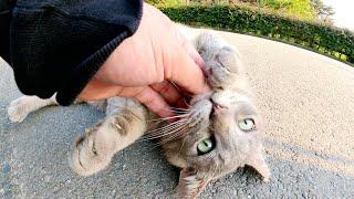 太った灰色猫がトコトコと歩いて来て無防備な体勢でモフられる